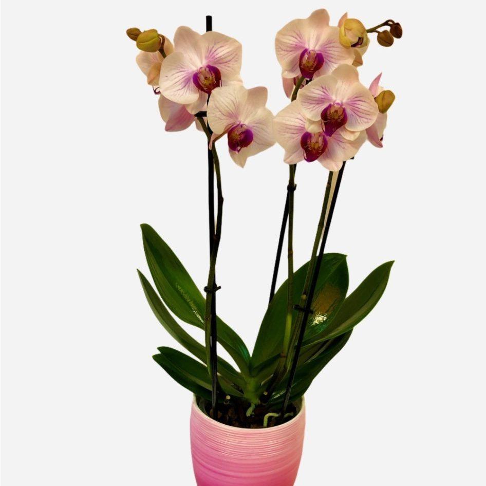 Orhideja Phanalopsis