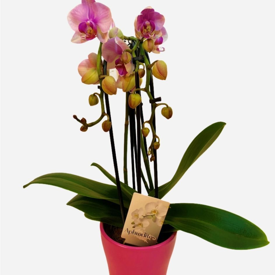 Orhideja Phanalopsis Cascada 3