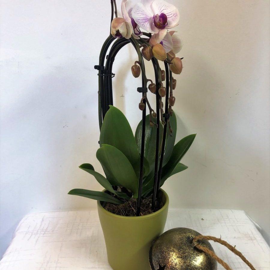 Orhideja Phanalopsis Cascada2